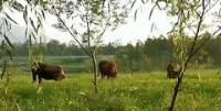 追踪|汉中居民在湿地公园放牛不听劝 环卫企业将派专人管护制止