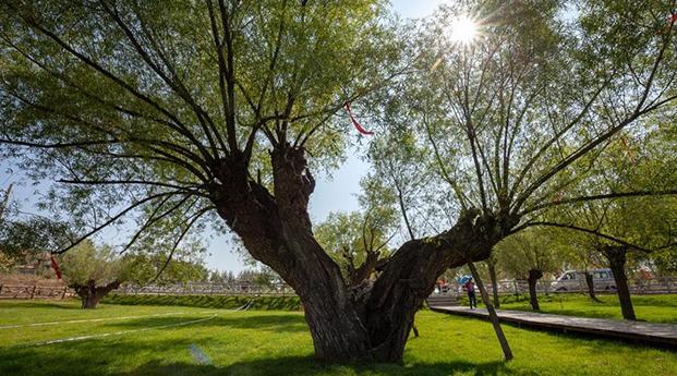 沙漠古柳地--榆林神树涧